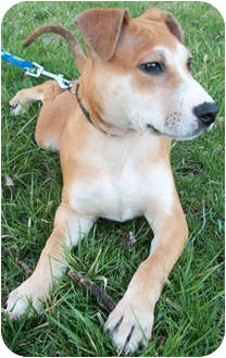 Shar Pei/Boxer Mix Puppy for adoption in Struthers, Ohio - Thor