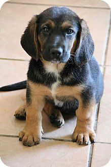 Basset Hound/Beagle Mix Puppy for adoption in Yuba City, California - Ethan