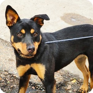 Rottweiler/Shepherd (Unknown Type) Mix Puppy for adoption in South Dennis, Massachusetts - Lucy