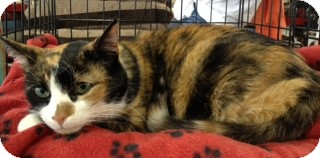 American Shorthair Cat for adoption in Hyde Park, New York - Maggie