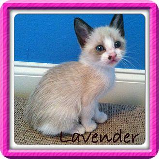 Siamese Kitten for adoption in Walker, Louisiana - Lavender