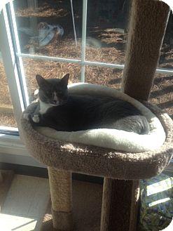 Domestic Shorthair Cat for adoption in Columbia, South Carolina - Lavendar