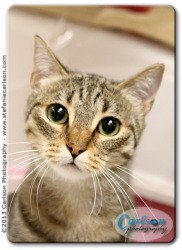 Domestic Shorthair Cat for adoption in Yorba Linda, California - Kiki