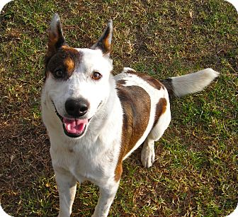 Australian Cattle Dog Mix Dog for adoption in El Cajon, California - Arthur
