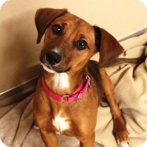 Hound (Unknown Type)/Retriever (Unknown Type) Mix Puppy for adoption in Naperville, Illinois - Sugar