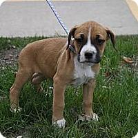 Adopt A Pet :: Bambi - Broomfield, CO