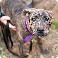 Adopt A Pet :: Bailey - Reisterstown, MD