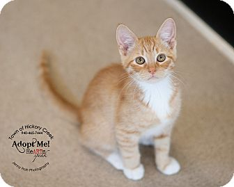 Domestic Shorthair Cat for adoption in Hickory Creek, Texas - Frank