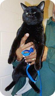 Domestic Shorthair Cat for adoption in McDonough, Georgia - C5