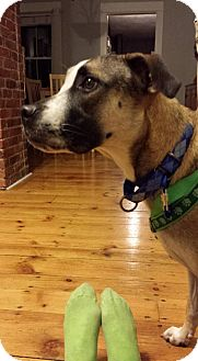 German Shepherd Dog/Boxer Mix Dog for adoption in Boston, Massachusetts - Emma
