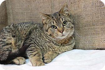 Domestic Shorthair Kitten for adoption in Midland, Michigan - Tarzan