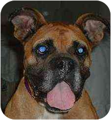 Boxer Dog for adoption in W. Columbia, South Carolina - Willow
