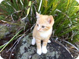 Domestic Shorthair Kitten for adoption in Alamo, California - Ginger