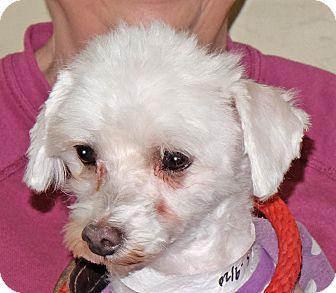Poodle (Miniature)/Terrier (Unknown Type, Small) Mix Dog for adoption in Spokane, Washington - Fiona