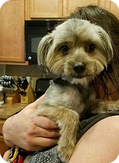 Yorkie, Yorkshire Terrier Mix Dog for adoption in Humble, Texas - Stevie Ray