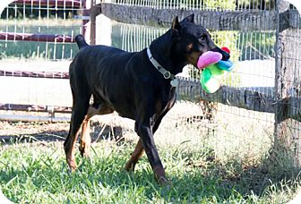 Doberman Pinscher Dog for adoption in Greensboro, North Carolina - SEATON