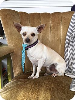 Chihuahua Mix Dog for adoption in Laingsburg, Michigan - Little Bit