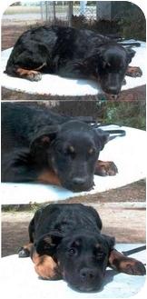 Rottweiler/Australian Shepherd Mix Puppy for adoption in Santa Barbara, California - Sydney