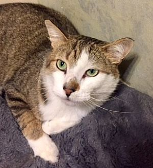 Domestic Shorthair Cat for adoption in Walled Lake, Michigan - Melvin