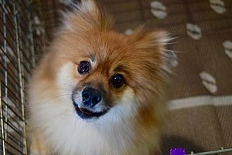 Pomeranian Dog for adoption in Irvine, California - Noodles