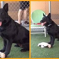 Adopt A Pet :: Gia - Newport Beach, CA