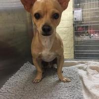 Adopt A Pet :: Lefty - justin, TX