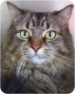 Maine Coon Cat for adoption in Bloomingdale, New Jersey - Clinton