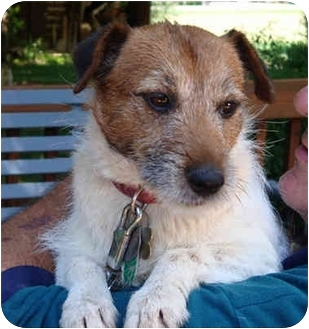 Jack Russell Terrier Dog for adoption in Thomasville, North Carolina - Wiggles