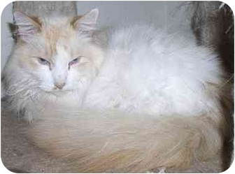 Ragdoll Cat for adoption in Davis, California - McGee