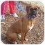 Photo 1 - Boxer Dog for adoption in Middlesex, New Jersey - Rocky & Rambo