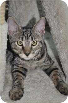 Domestic Shorthair Cat for adoption in Carlisle, Pennsylvania - Carson