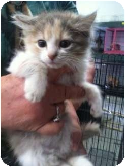Calico Kitten for adoption in Lonedell, Missouri - pilly