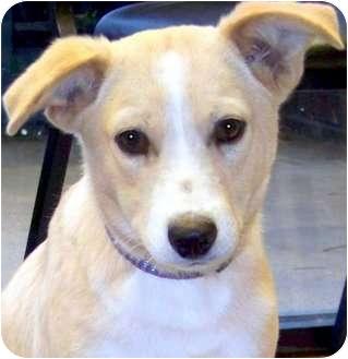 Labrador Retriever/Collie Mix Puppy for adoption in Wakefield, Rhode Island - KASEY(ADORABLE PUPPY)