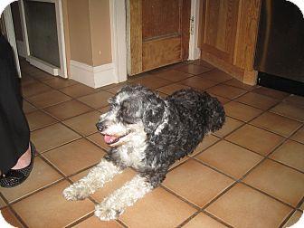 Portuguese Water Dog Dog for adoption in Mount Kisco, New York - Zoe-No longer taking apps