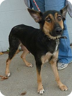 Shepherd (Unknown Type) Mix Dog for adoption in Detroit, Michigan - Wednesday-Adopted!