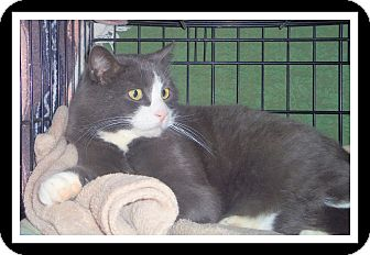Domestic Shorthair Cat for adoption in Medford, Wisconsin - HANK