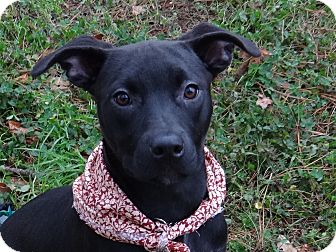 Labrador Retriever/American Pit Bull Terrier Mix Dog for adoption in Peachtree City, Georgia - Pepper