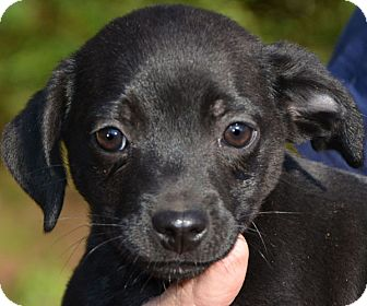 Chihuahua Mix Puppy for adoption in Staunton, Virginia - Matt