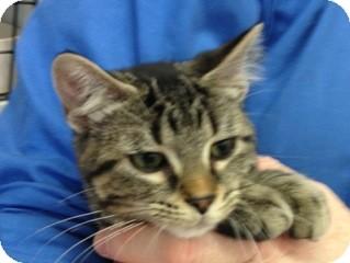 Domestic Shorthair Kitten for adoption in Warren, Michigan - Mary Margaret SNOW aka Snow