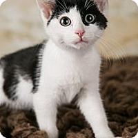 Adopt A Pet :: Onyx - Eagan, MN