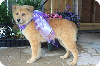 Golden Retriever/Chow Chow Mix Dog for adoption in New Oxford, Pennsylvania - Cora