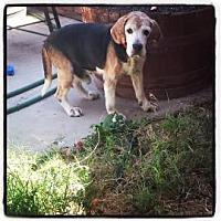 Adopt A Pet :: Major - Phoenix, AZ