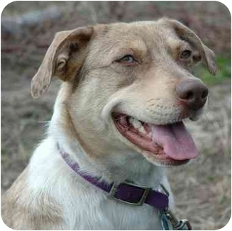Australian Cattle Dog Mix Dog for adoption in Westfield, New York - Bindy