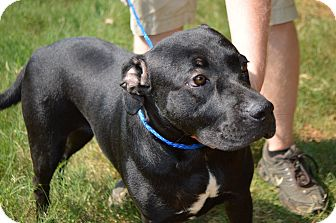 Labrador Retriever Mix Dog for adoption in Glenburn, Maine - Mariah