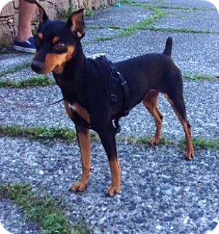 Miniature Pinscher Mix Dog for adoption in Vancouver, British Columbia - Mini