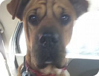Shar Pei Mix Dog for adoption in Apple Valley, California - Bart - pending