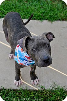 Pit Bull Terrier/American Staffordshire Terrier Mix Puppy for adoption in College Station, Texas - Cobalt