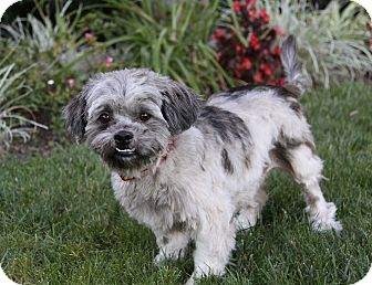 Shih Tzu Mix Dog for adoption in Newport Beach, California - MARBLES