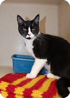 Domestic Shorthair Cat for adoption in Bucyrus, Ohio - Elsa