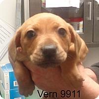 Adopt A Pet :: Vern - Greencastle, NC